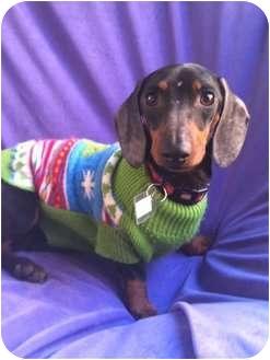 Dachshund Dog for adoption in Pasadena, California - FRANKY