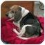 Photo 2 - Beagle Dog for adoption in Waldorf, Maryland - Odie
