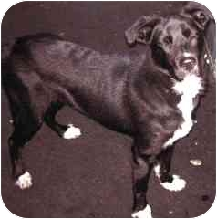 Collie/Shepherd (Unknown Type) Mix Dog for adoption in Long Beach, New York - Nigel