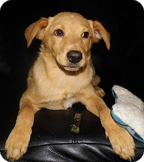 Labrador Retriever Mix Puppy for adoption in Bel Air, Maryland - Lucky
