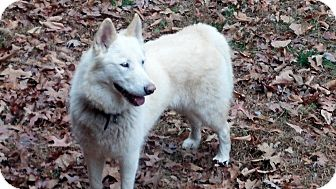 Husky Mix Dog for adoption in Brattleboro, Vermont - Lakoda