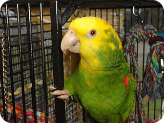 """Amazon for adoption in Vancouver, Washington - """"R"""" is An Amazing 38 Year Youn"""