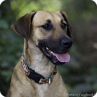 German Shepherd Dog/Labrador Retriever Mix Dog for adoption in Nanaimo, British Columbia - Rosita