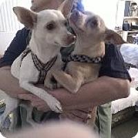Adopt A Pet :: Chico - Only $25 adoption fee! - Litchfield Park, AZ