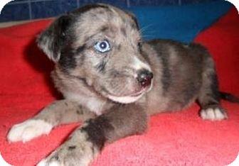 Catahoula Leopard Dog/Labrador Retriever Mix Puppy for adoption in Bartonsville, Pennsylvania - Sahara