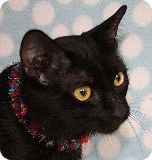 Domestic Shorthair Cat for adoption in Jackson, Michigan - Hawk