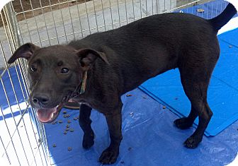 Labrador Retriever/Shepherd (Unknown Type) Mix Puppy for adoption in Winnetka, California - Montana