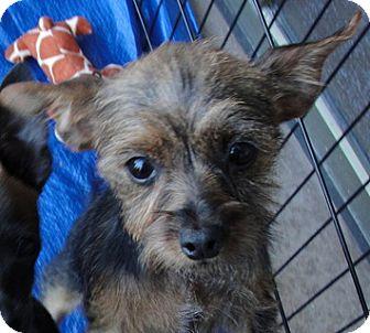 Manchester Terrier/Yorkie, Yorkshire Terrier Mix Puppy for adoption in Tumwater, Washington - Juliette