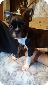 Boston Terrier Puppy for adoption in Jackson, Tennessee - AVA