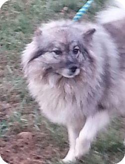 Keeshond Dog for adoption in Harrisonburg, Virginia - Savanna Smiles