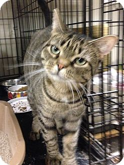 Polydactyl/Hemingway Cat for adoption in East Brunswick, New Jersey - Prim - XTRA TOES