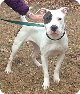 Pit Bull Terrier Mix Dog for adoption in Bloomfield, Connecticut - Mittens