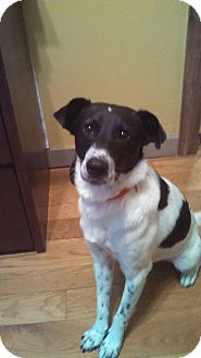 Border Collie/Pointer Mix Dog for adoption in Groton, Connecticut - Scooter