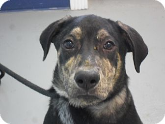 Shepherd (Unknown Type) Mix Puppy for adoption in Fort Lupton, Colorado - Mikey