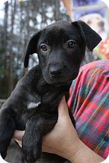Labrador Retriever Mix Puppy for adoption in Randolph, New Jersey - Poppy