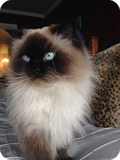 Himalayan Cat for adoption in Columbus, Ohio - Valentina