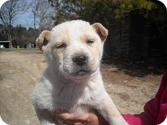 Labrador Retriever/Shepherd (Unknown Type) Mix Puppy for adoption in Edgewater, New Jersey - Waldo