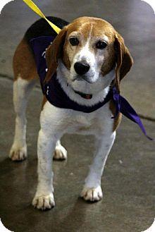 Beagle Dog for adoption in Cool Ridge, West Virginia - Buddy