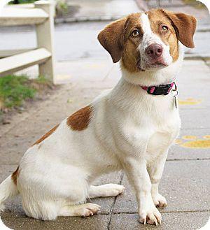 Beagle Mix Dog for adoption in Port Washington, New York - Molly Polly