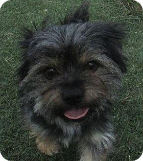 Yorkie, Yorkshire Terrier Mix Dog for adoption in Lloydminster, Alberta - Spot