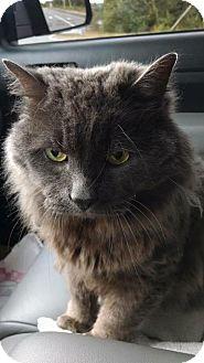 Domestic Longhair Cat for adoption in Acushnet, Massachusetts - Chucky