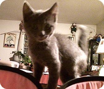 Domestic Shorthair Kitten for adoption in Tampa, Florida - Fritz