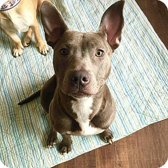 American Pit Bull Terrier Mix Dog for adoption in Warrenville, Illinois - Montana