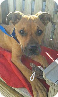 Boxer Mix Puppy for adoption in Manhattan, Kansas - Skipper
