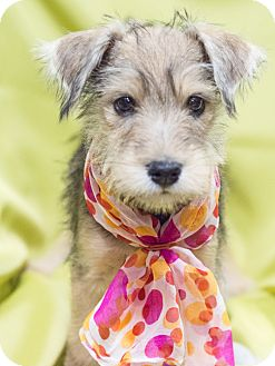 Yorkie, Yorkshire Terrier/Chihuahua Mix Puppy for adoption in Chandler, Arizona - Amelia