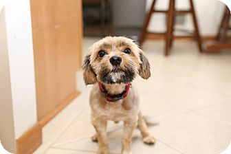 Yorkie, Yorkshire Terrier/Poodle (Miniature) Mix Dog for adoption in Troy, Michigan - Elroy