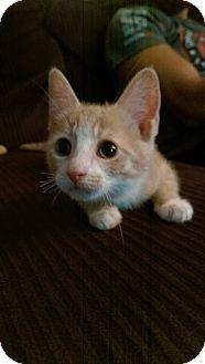 Domestic Shorthair Kitten for adoption in North Brunswick, New Jersey - Hannah
