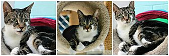 Domestic Shorthair Cat for adoption in Forked River, New Jersey - Nutella