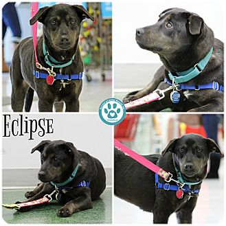 Labrador Retriever Mix Dog for adoption in Kimberton, Pennsylvania - Eclipse