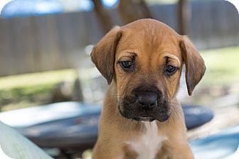 Hound (Unknown Type) Mix Puppy for adoption in Hartford, Connecticut - Philip