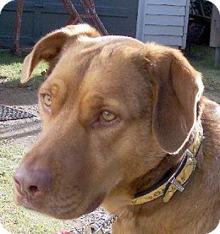Labrador Retriever/Chesapeake Bay Retriever Mix Dog for adoption in Guthrie, Oklahoma - Rue'