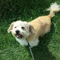 Poodle (Toy or Tea Cup)/Terrier (Unknown Type, Small) Mix Dog for adoption in East Smithfield, Pennsylvania - Dukie