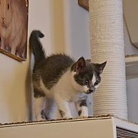 Adopt A Pet :: Grizabella - Brooklyn, NY