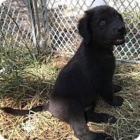 Adopt A Pet :: Newfoundland mix litter - East Hartford, CT
