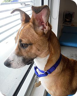 Jack Russell Terrier/Corgi Mix Dog for adoption in Palm City, Florida - Peanut