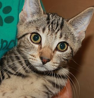 Domestic Shorthair Kitten for adoption in Clayton, New Jersey - MARBLES