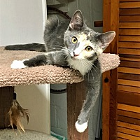 Domestic Shorthair Kitten for adoption in River Edge, New Jersey - Cassia
