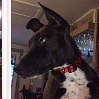 Adopt A Pet :: Juniper - Brattleboro, VT