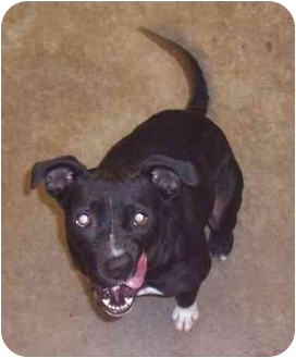 Pit Bull Terrier Mix Dog for adoption in Anderson, Indiana - Sissy