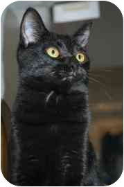 Domestic Shorthair Cat for adoption in Walker, Michigan - Jessica