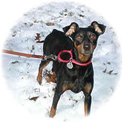 Miniature Pinscher Dog for adoption in Crofton, Maryland - PENNY