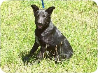 German Shepherd Dog/Labrador Retriever Mix Dog for adoption in Questa, New Mexico - Tip