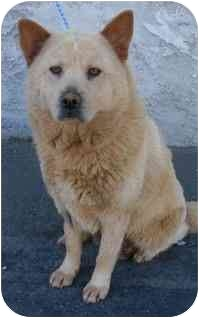 Chow Chow/Jindo Mix Dog for adoption in Los Angeles, California - Tracy