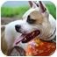 Photo 2 - American Bulldog/American Staffordshire Terrier Mix Dog for adoption in Charlottesville, Virginia - Elvis