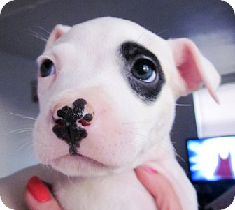 American Bulldog/American Staffordshire Terrier Mix Puppy for adoption in Colleyville, Texas - Jack