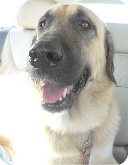 Anatolian Shepherd Dog for adoption in Missouri City, Texas - Walker